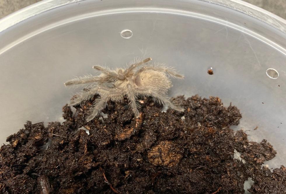 "Socotra Island Blue Tarantula 1.5"""