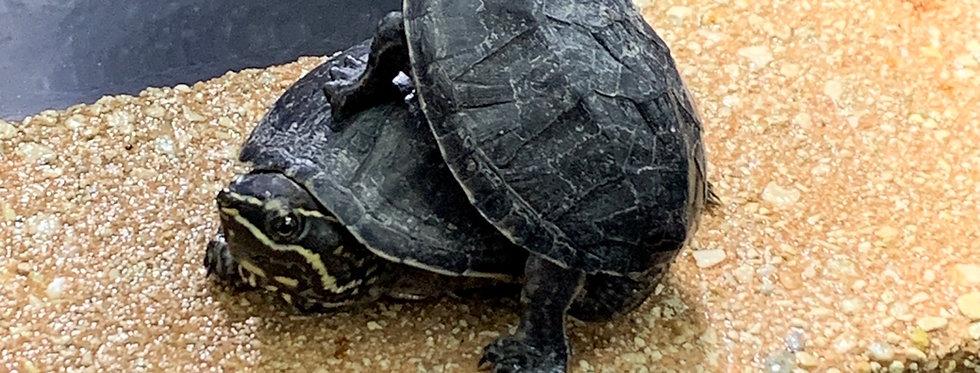"Stinkpot turtle 2-4"""