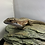 Thumbnail: Major plated lizard