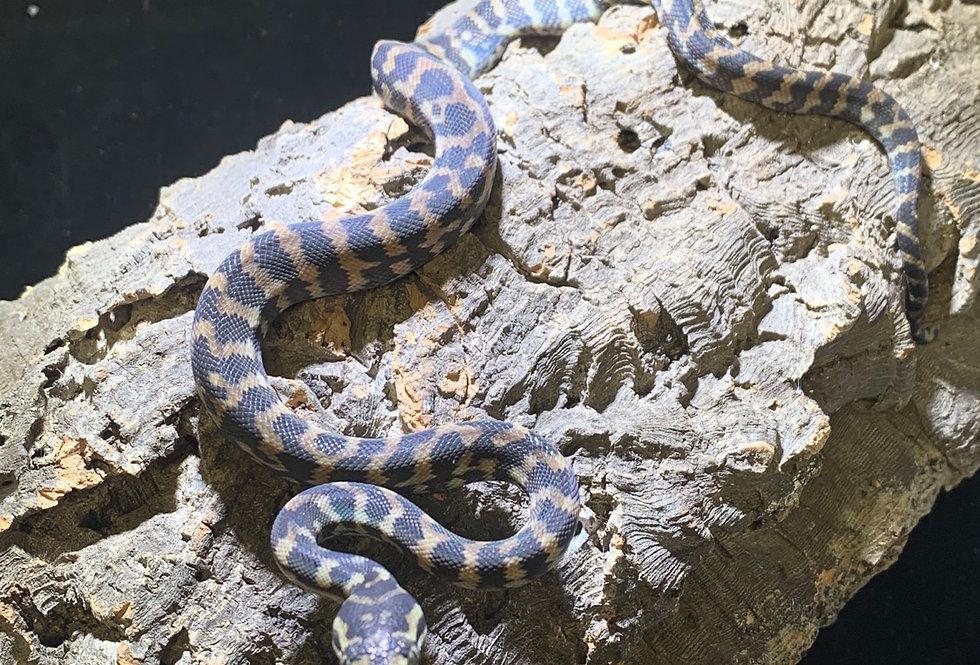 Irian jara  carpet python