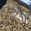 Thumbnail: Argentine red tegu