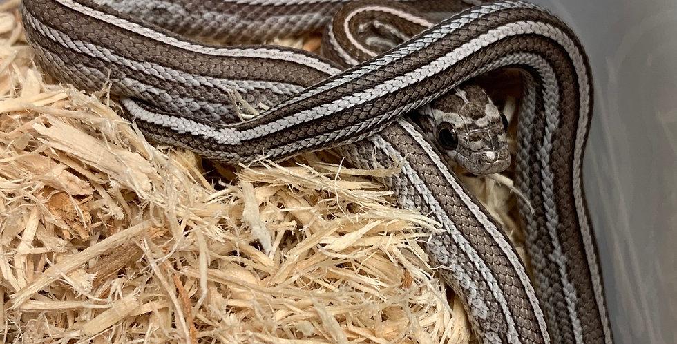 Tessera Caramel Motley Corn Snake