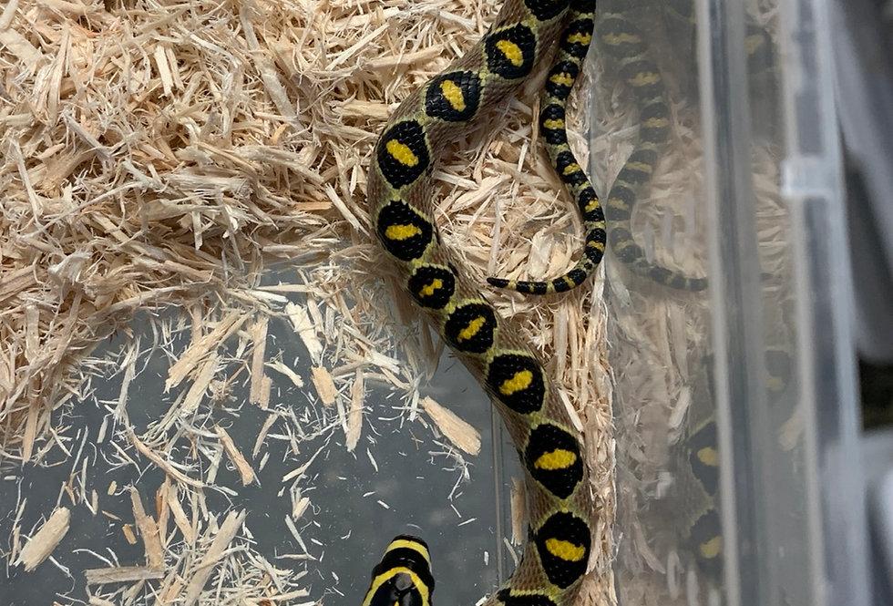 Mandarine rat snake