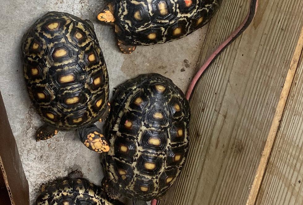 cherry head tortoise (high marbled