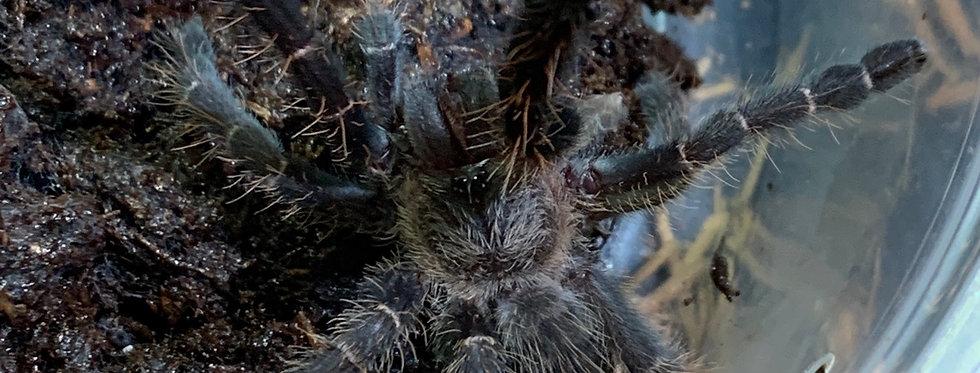 Hatian Bird Eating Tarantula