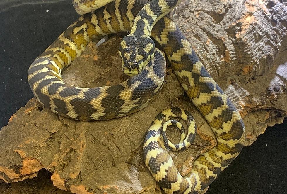 Papuan carpet python