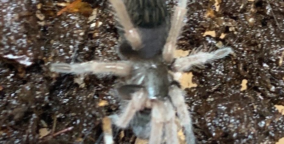 """Orange Leg Tarantula 1"""""""