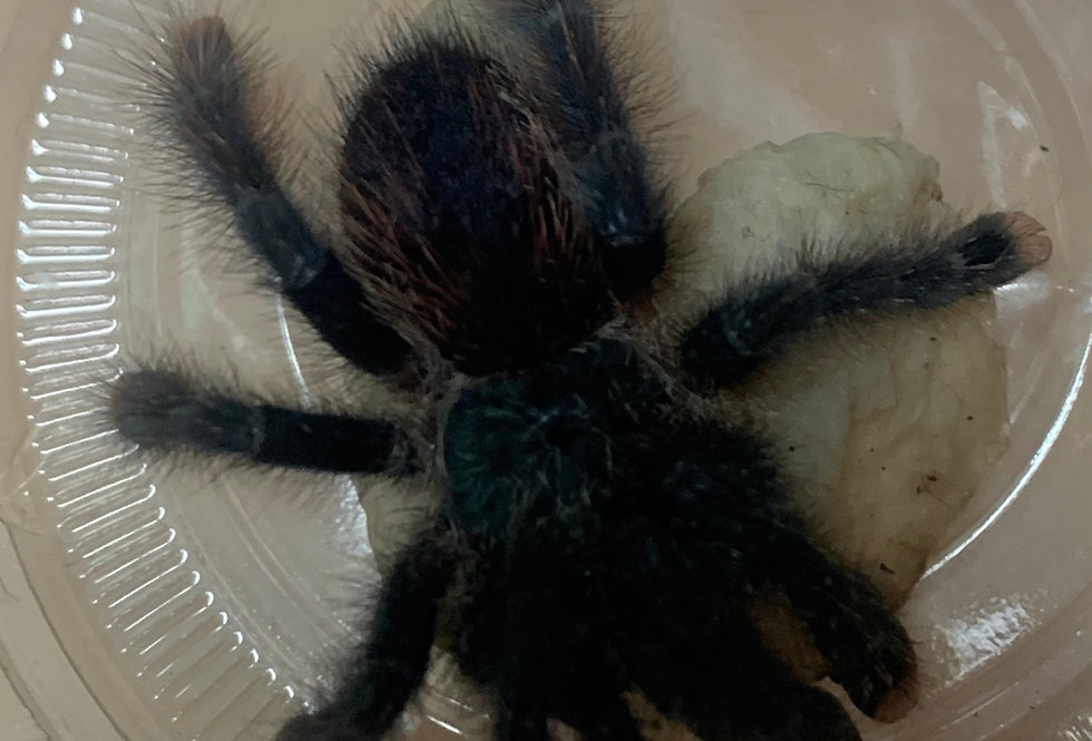Pink toe tarantula