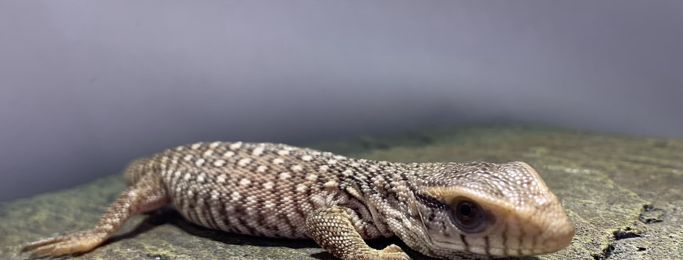 Savannah Monitor (Hatchling)