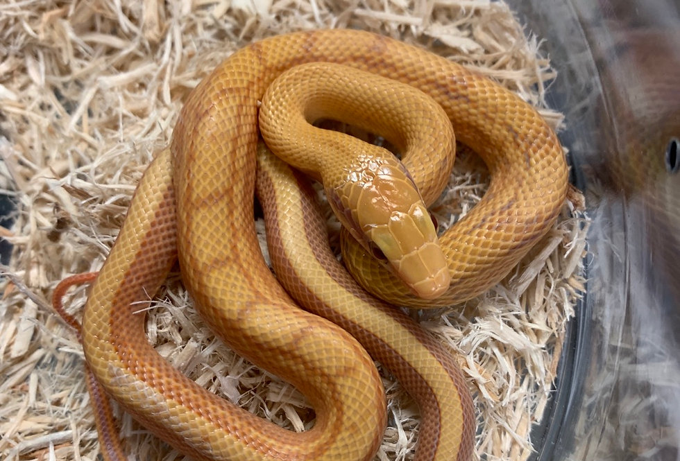 Taiwan beauty rat snake (T+ alb)