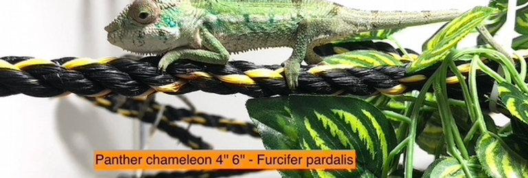 "Panther chameleon (4-6"")"