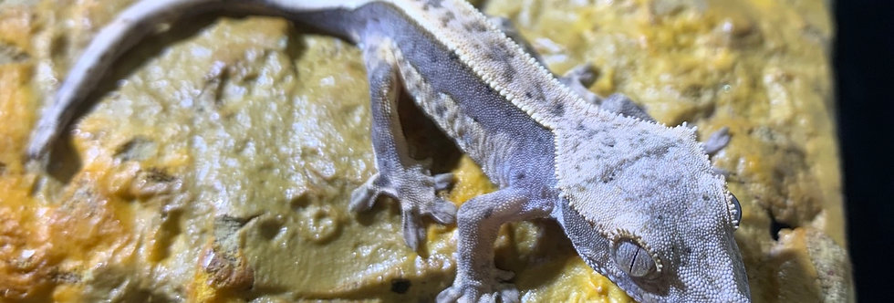 Pinstripe crested gecko (baby)
