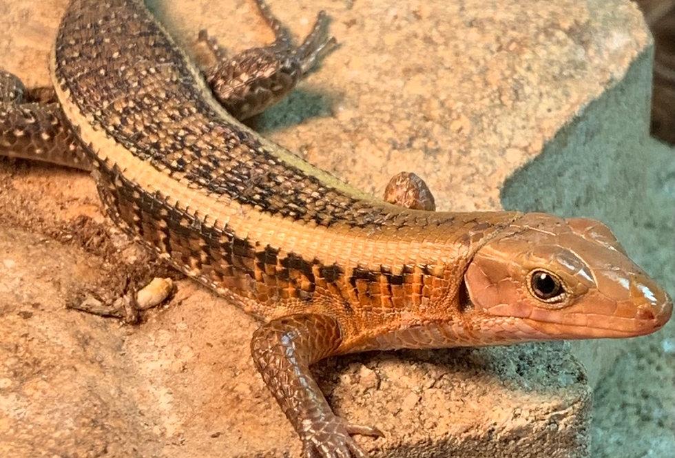 Western girdled lizard