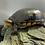 "Thumbnail: White cheeked mud turtle 4"" 6"""
