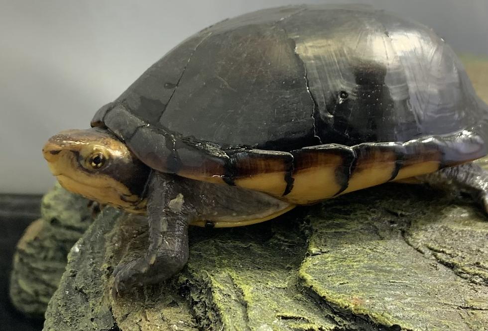 """White cheeked mud turtle 4"""" 6"""""""
