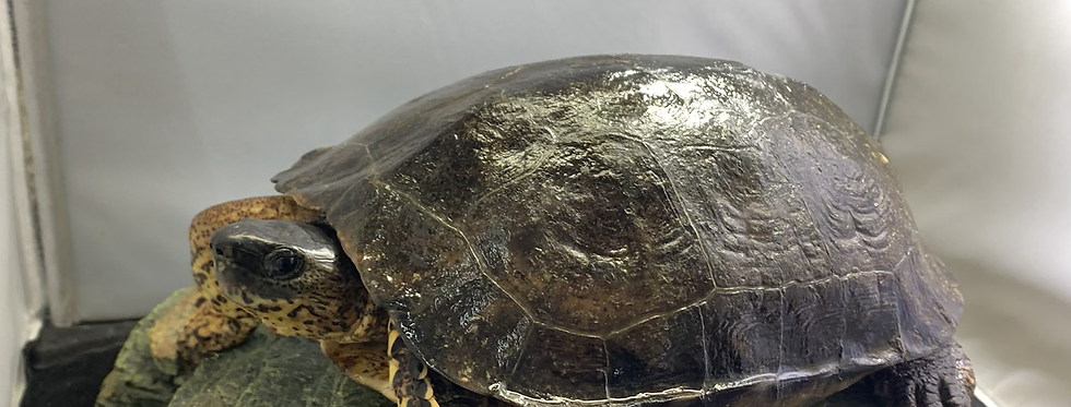 Black wood turtle 8-10""