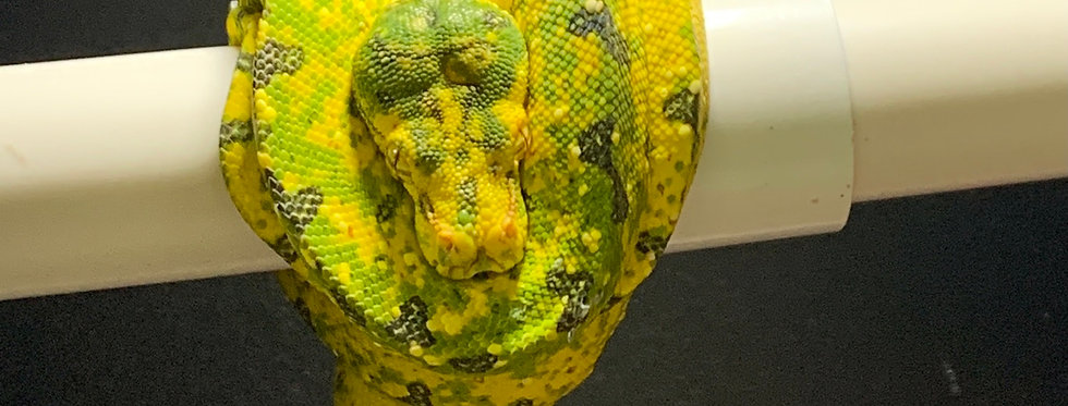 BIAK green tree python (001GTP)