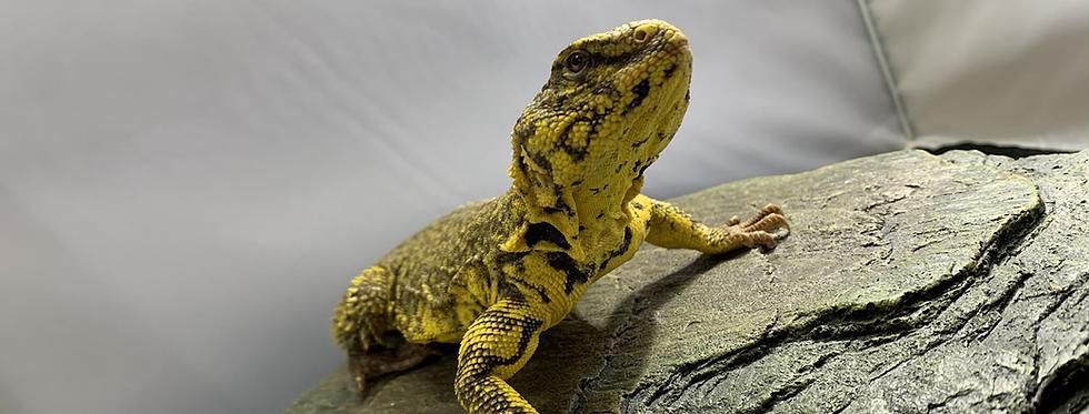 Nigerian Uromastyx (Yellow)juvenile
