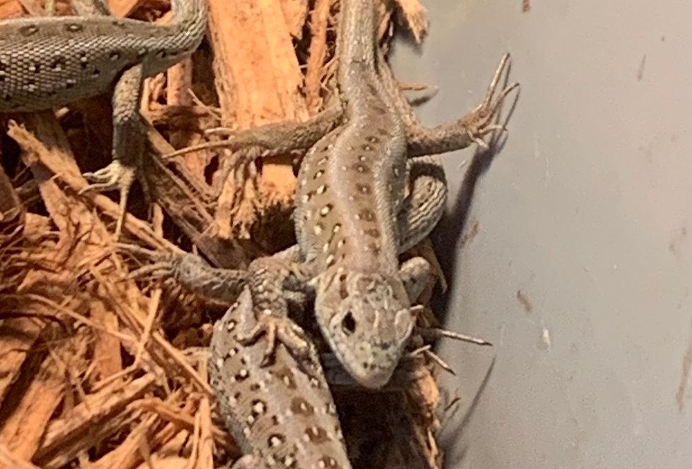 Emerald sand lizard