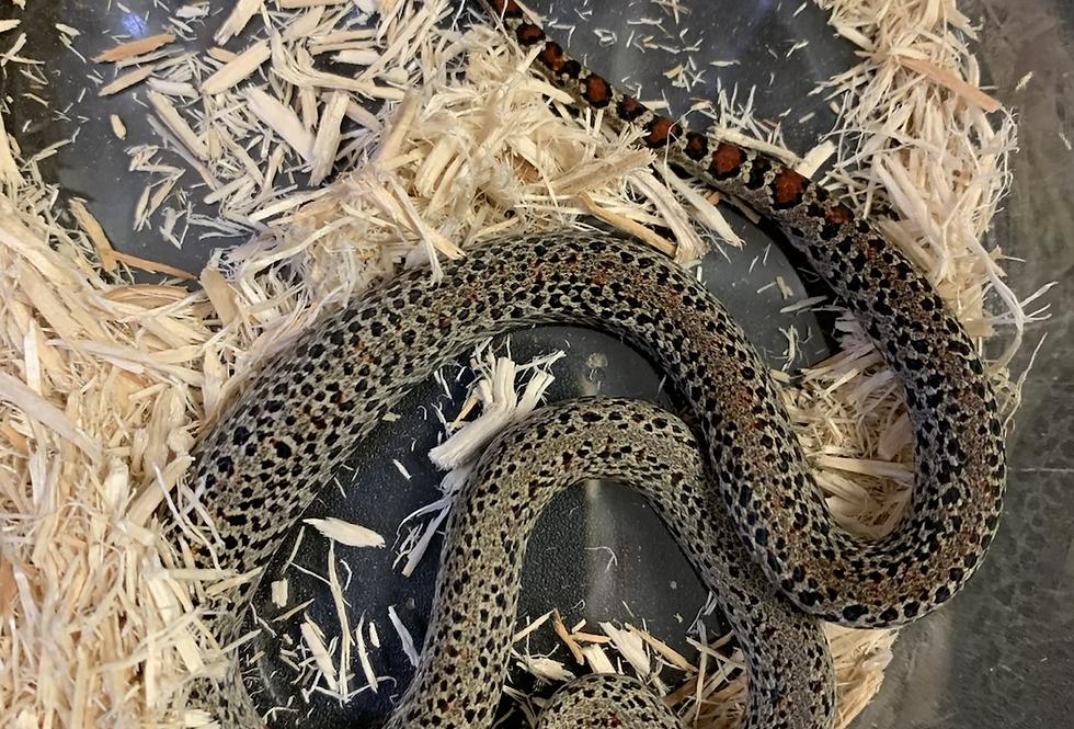 San Luis Potosí king snake(ultra granite )