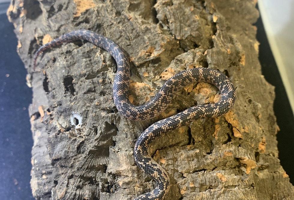 FL mosaic king snake