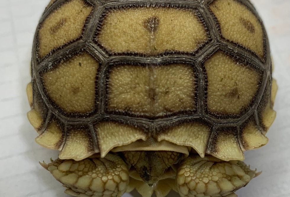 Sulcata tortoise (baby)