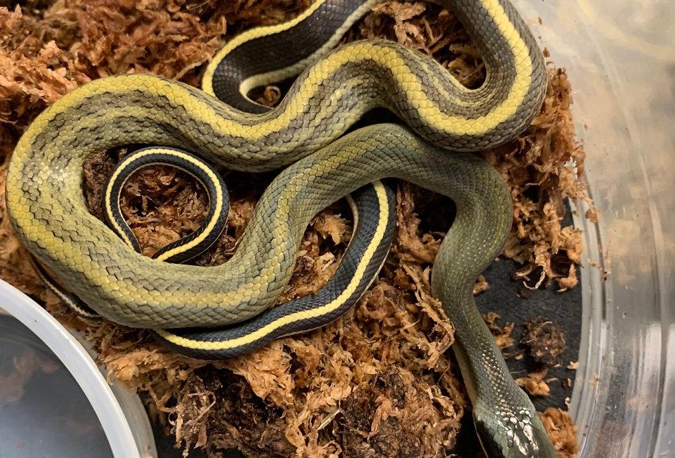 Beauty rat snake (grabowskyi)