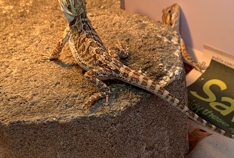 Red Bearder dragon (baby)
