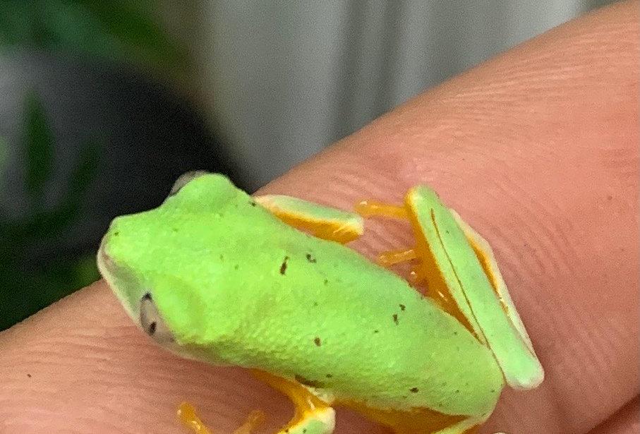 Lemur leaf frog CB