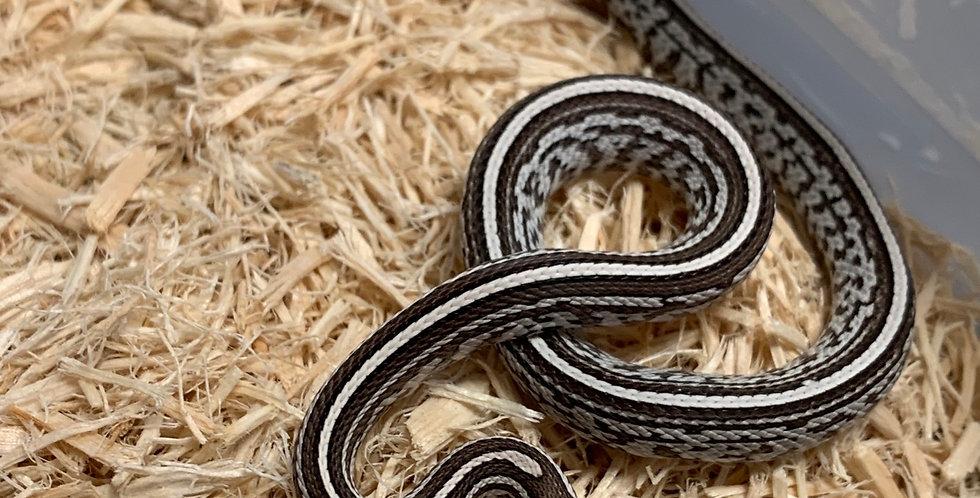 Tessera Anery Corn Snake