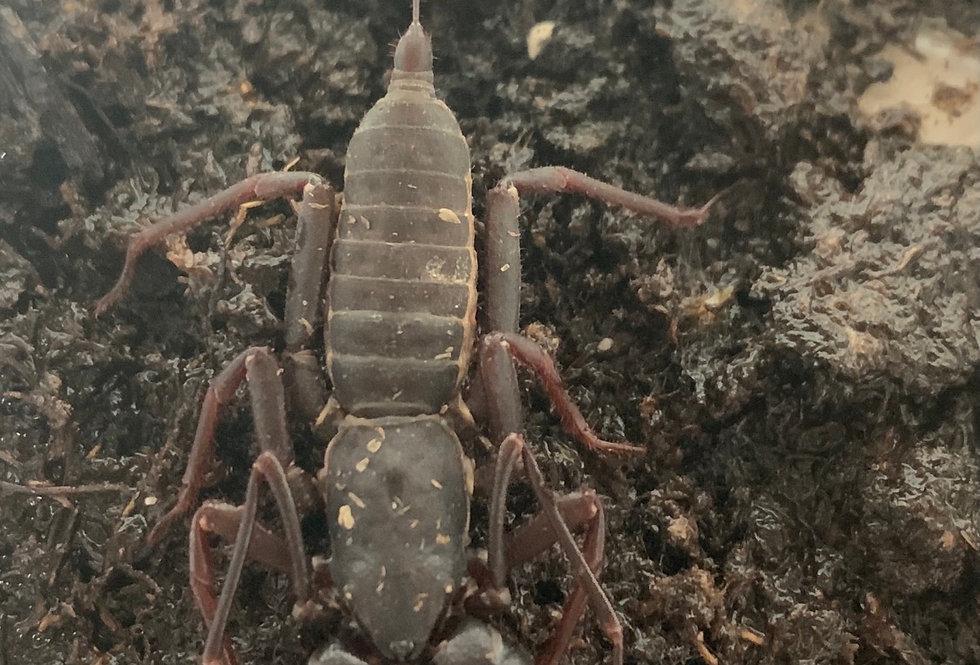 Thailand giant whiptail scorpion