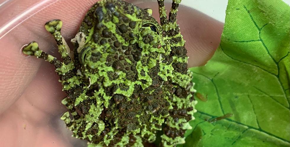 Mossy Tree Frog CB