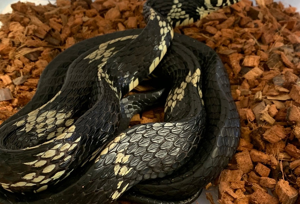Mexican rat snake