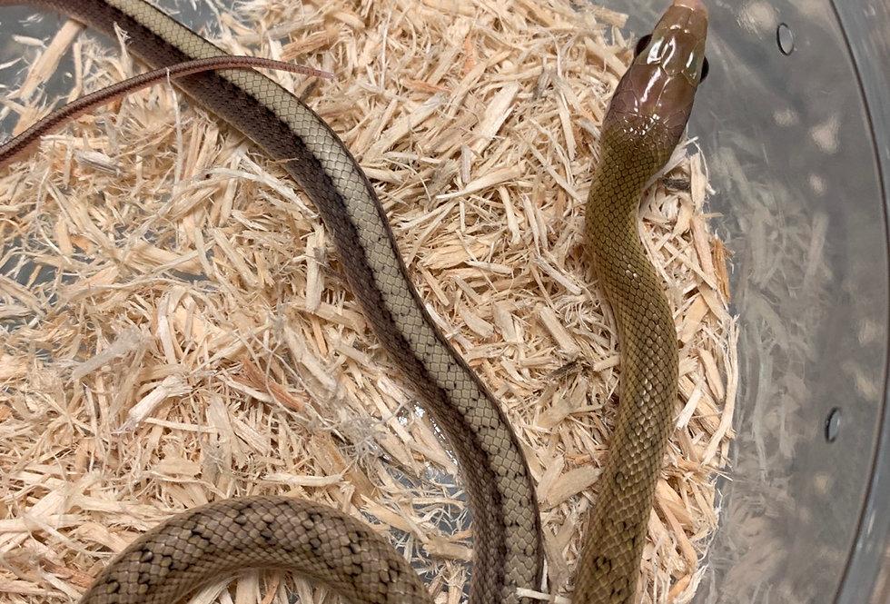 Taiwan beauty rat snake (platinum )