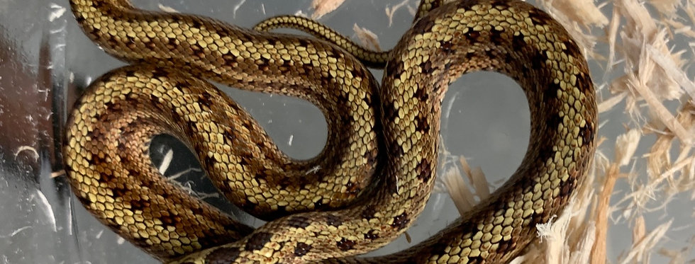 Twin spotted rat snake