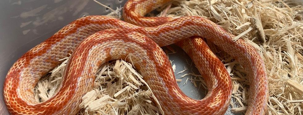 Aztec Albino Corn Snake 2019