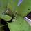 Thumbnail: Bird-voiced tree frog