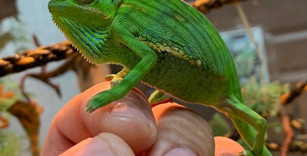 Baby veiled chameleon