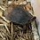 Thumbnail: S.A. wood turtle