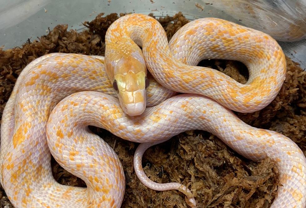 Albino calico Chinese beauty rat snake