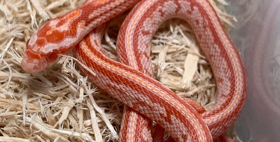Tessera Albino Corn Snake