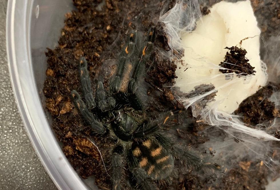 "Venezuelan Suntiger Tarantula 1.5"""