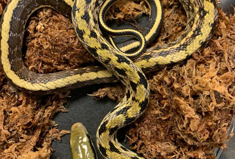 Chinese beauty rat snake