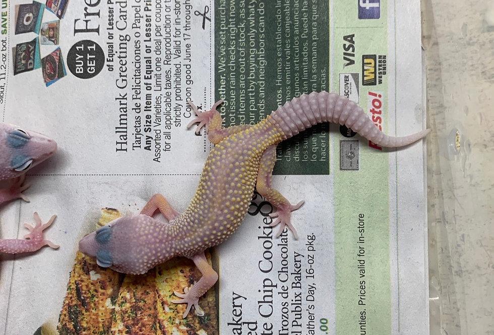 Blizzard leopard gecko