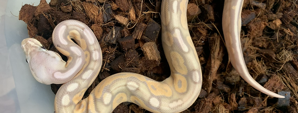 Pastel cinnamon banana het pied