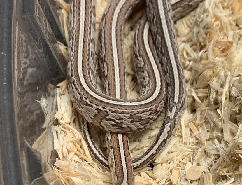 Tessera Ghost Striped Corn Snake