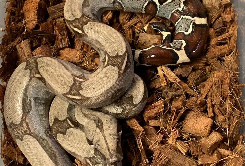 Guyana Redtail boa (124GB)