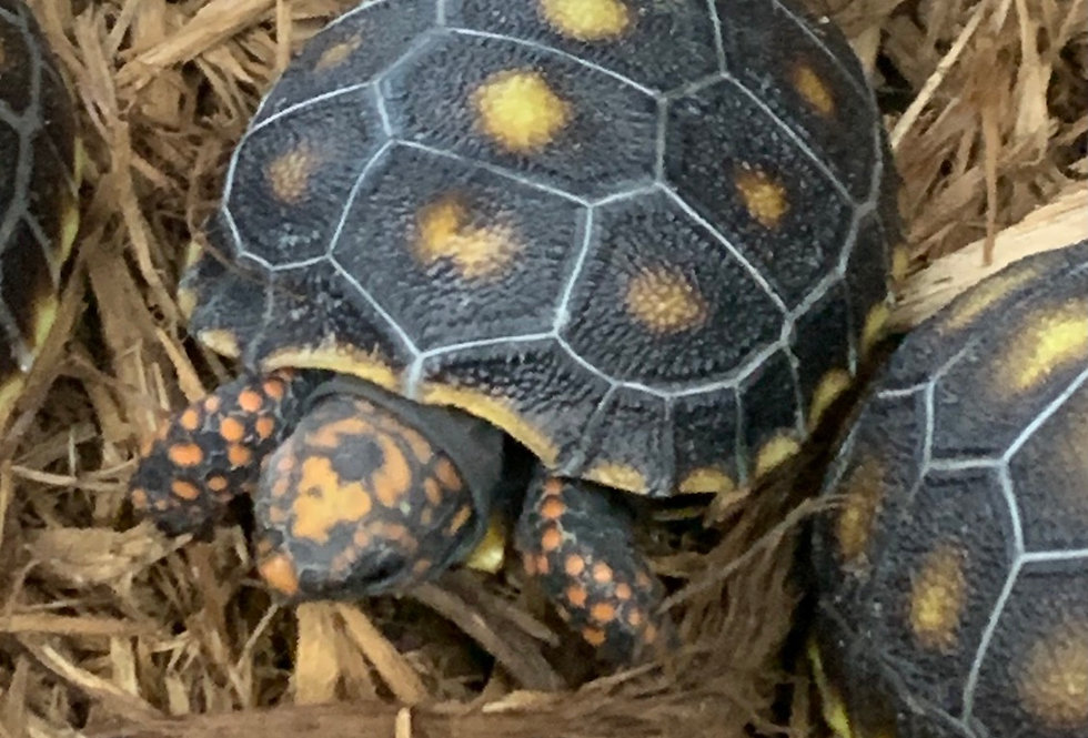 Redfoot tortoise ( hatching )