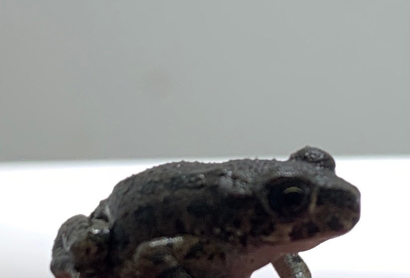 European Green Toad CB
