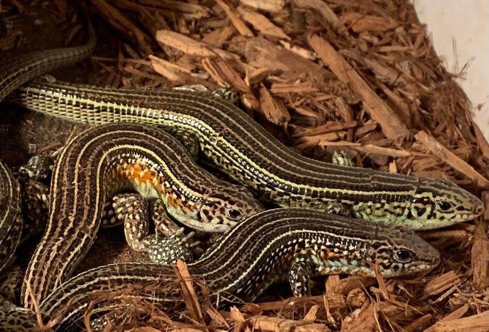 Ornate girdled lizard